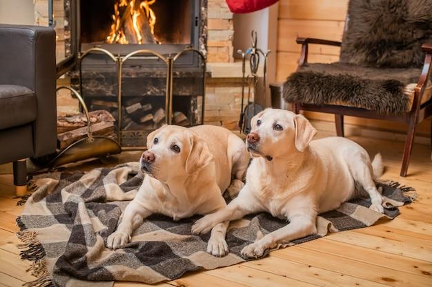 Paire de golden retrievers du labrador se trouvent sur une couverture devant une cheminée de maison de campagne.