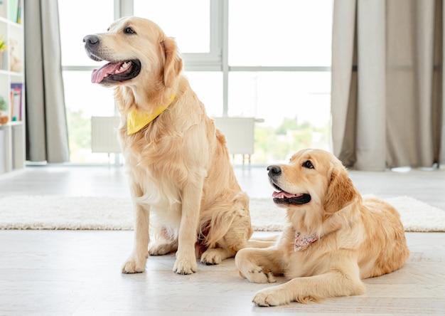 Paire de golden retrievers portant des mouchoirs assis à la maison