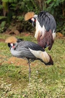 Une paire de grue à couronne noire - balearica pavonina
