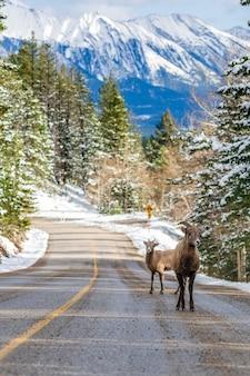 Paire de jeunes mouflons d'amérique brebis et agneau sur la route de la montagne enneigée du parc national banff