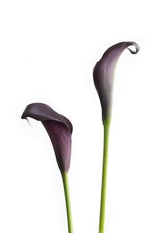 Paire de lis calla violets isolés sur fond blanc.
