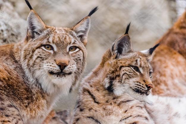 Paire de lynx eurasiens (lynx lynx) reposant ensemble