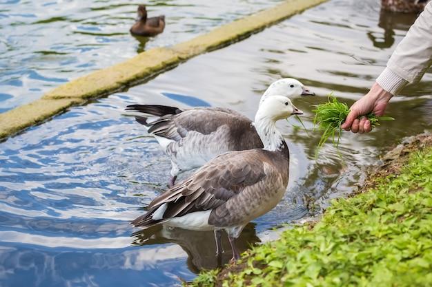 Paire d'oies mangeant de l'herbe des mains d'un homme sur la rive de l'étang.