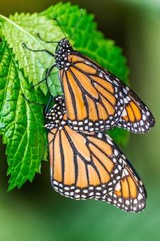 Paire de papillons monarques (danaus plexippus) sur les feuilles rouges avec une végétation vert foncé