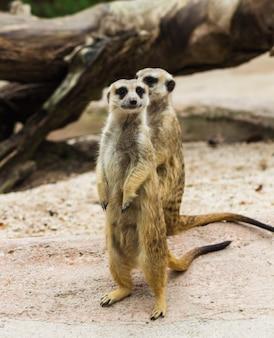 Une paire de suricates rigolotes