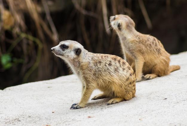 Une paire de suricates