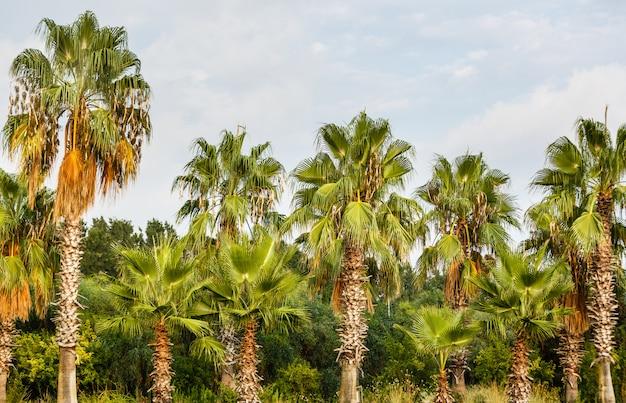 Palmeras tropicales de coco