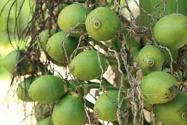 Palmier à bétel sur l'arbre