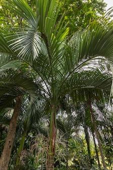 Palmier carpoxykum ou palmier aneityum, carpoxylon macrospermum, palmier