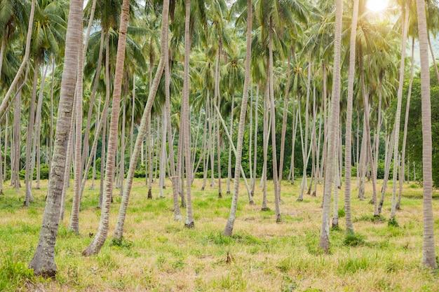 Palmier coconat