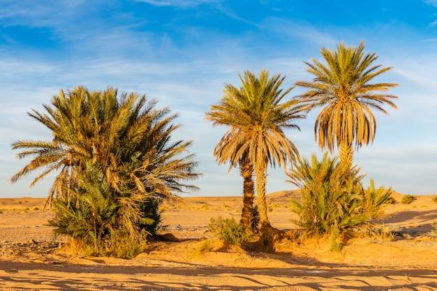Palmier dans le désert du sahara
