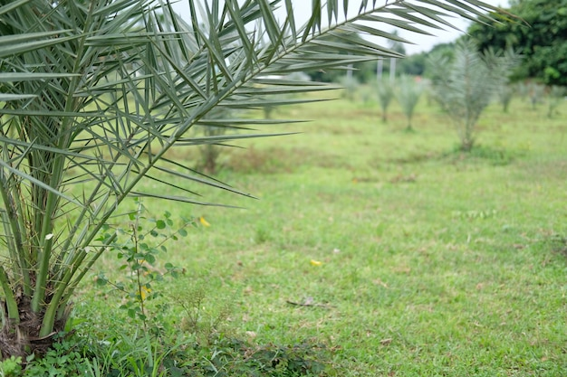 Palmier dattier croissant dans la ferme. plantation d'arbres fruitiers