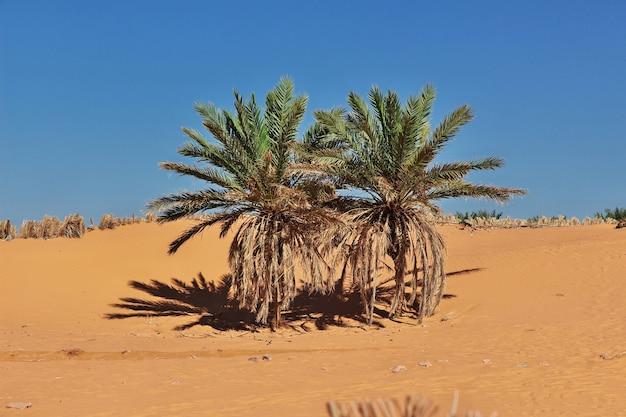 Le palmier dattier dans la ville abandonnée de timimun dans le désert du sahara, en algérie