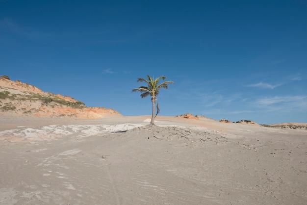 Palmier isolé parmi les dunes de sable et les falaises de la plage de redonda (praia da redonda), dans l'état de ceara, région nord-est du brésil