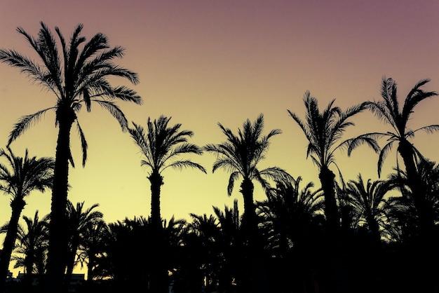 Palmier de noix de coco de silhouette. concept de plein air