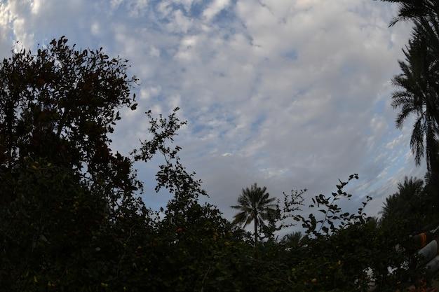 Le palmier le palmier dattier ou le palmier dattier est un arbre appartenant à la famille des tatous
