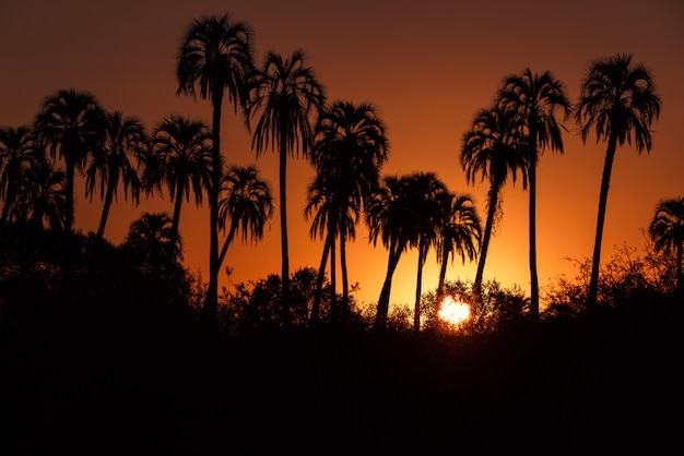 Palmier à sucre silhouette au lever ou au coucher du soleil