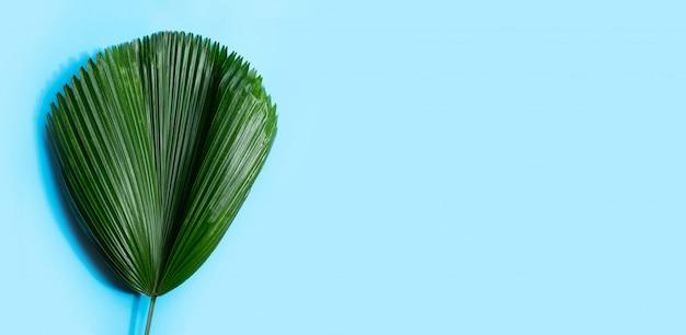 Palmier de ventilateur fidji sur fond bleu.