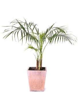 Palmiers d'arec en studio