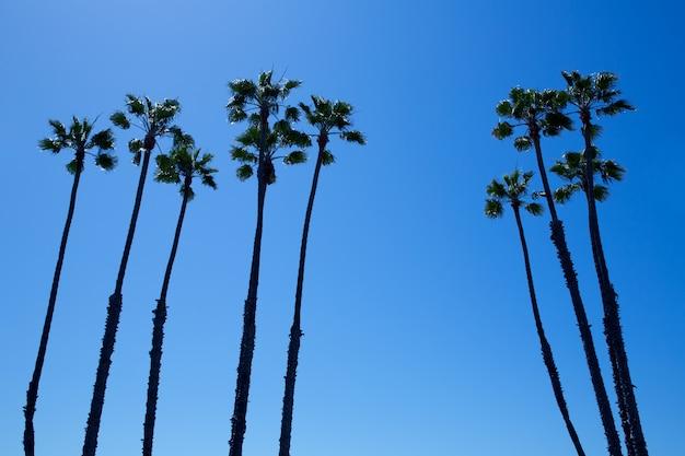 Palmiers de californie sur ciel bleu