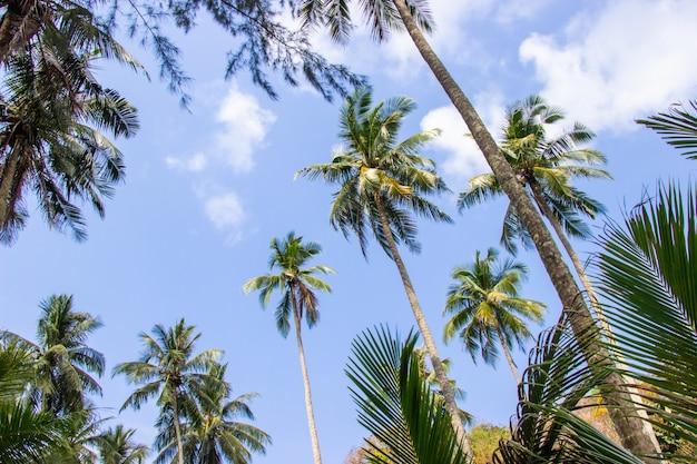 Palmiers et ciel radieux sur la magnifique région de koh kood, province de trat, thaïlande.