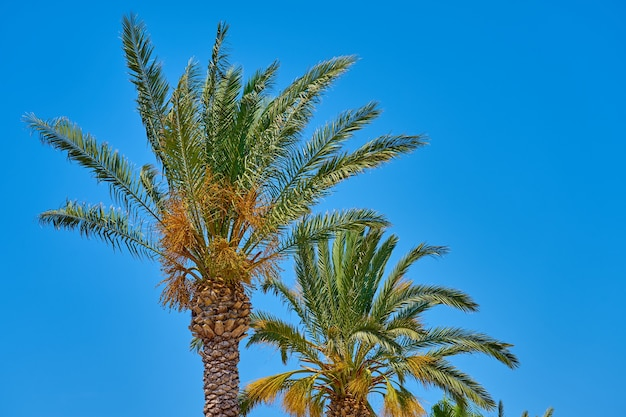 Palmiers contre un ciel bleu.