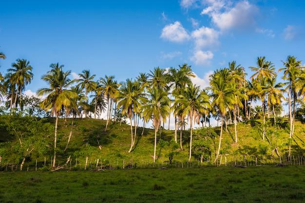 Palmiers dans la forêt avec ciel bleu au milieu de la nature avec noix de coco