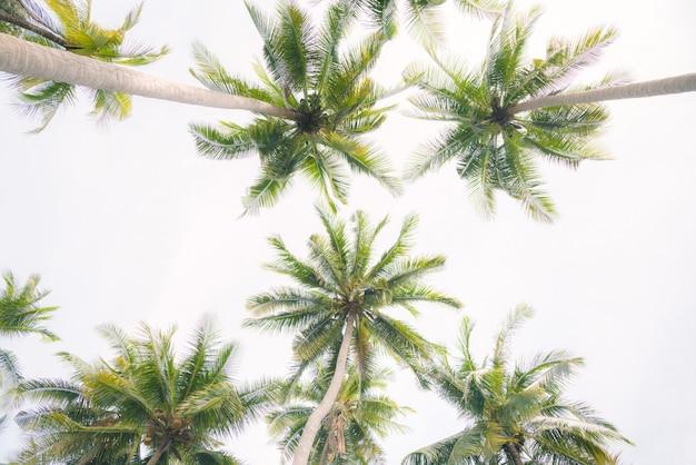 Palmiers de noix de coco isolés sur fond blanc.