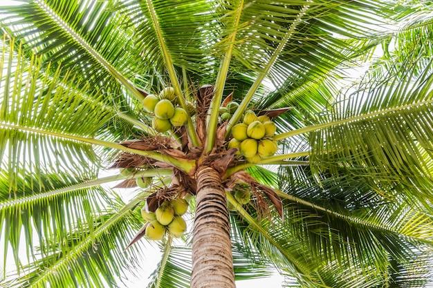 Palmiers avec noix de coco sur la plage.