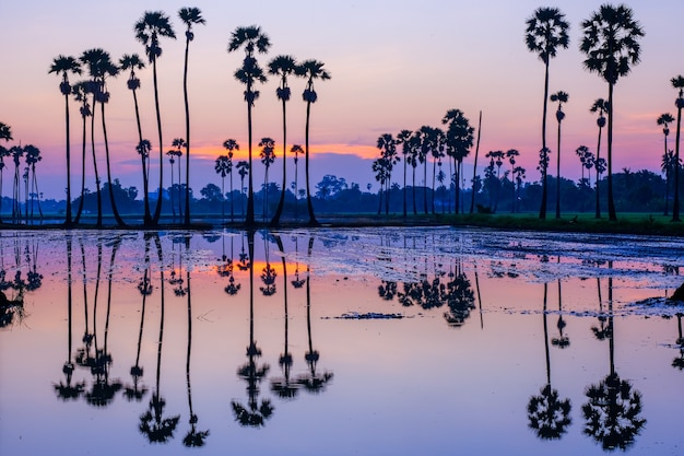Palmiers à sucre sur la rizière au lever du soleil en thaïlande