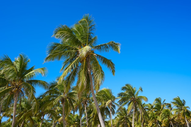 Palmiers de tulum dans la jungle sur la plage de la riviera maya