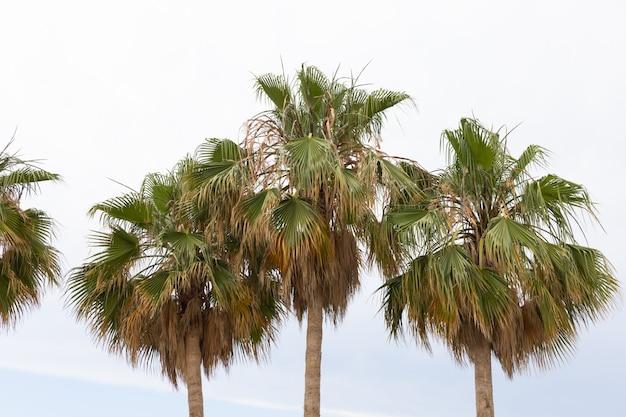 Palmiers verts et ciel nuageux