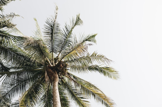 Palmiers verts de noix de coco contre le ciel blanc