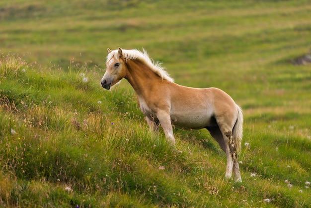 Palomino cheval paissant