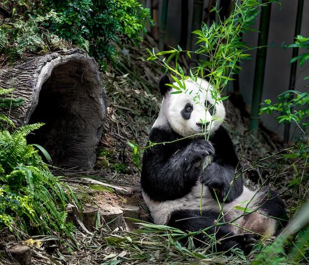 Panda géant affamé