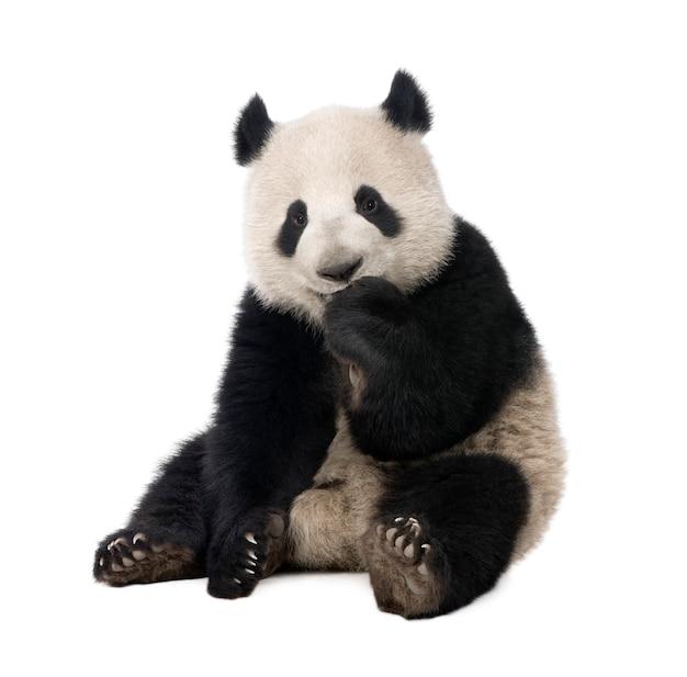 Panda géant, ailuropoda melanoleuca sur un blanc isolé