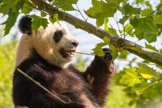 Panda géant animal blanc
