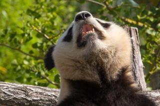 Panda géant animal chine
