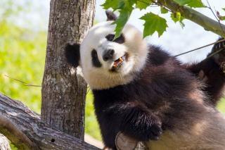 Panda géant en chine géante