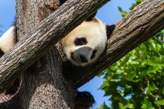 Panda géant en chine panda géant