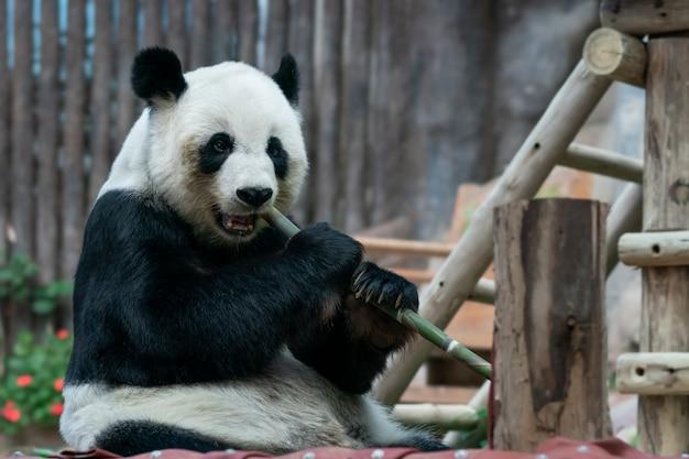 Le panda géant mange du bambou dans le parc.