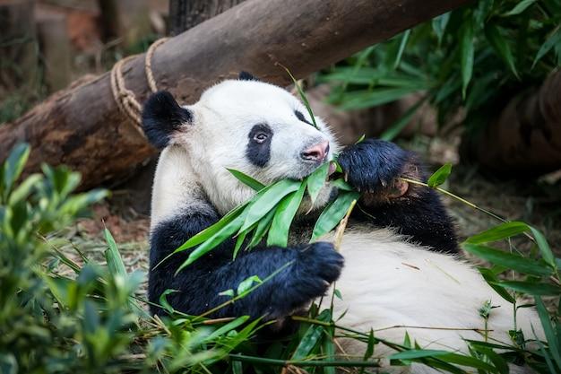 Un panda géant mange une feuille de bambou vert