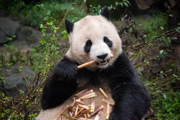 Panda géant mangeant