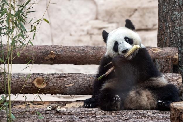 Panda géant mignon mangeant du bambou dans le zoo