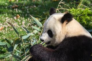 Panda géant ours panda