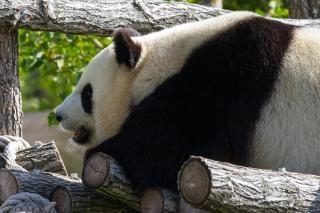 Panda géant zoo géant