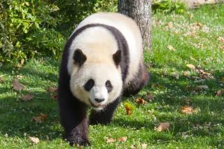 Panda géant zoo ours