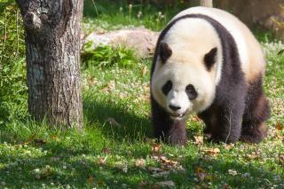 Panda géant zoo