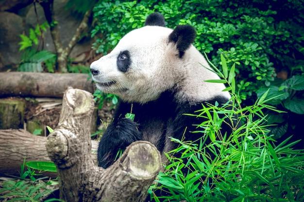 Panda géant