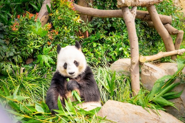 Panda mange une feuille de bambou pour le déjeuner
